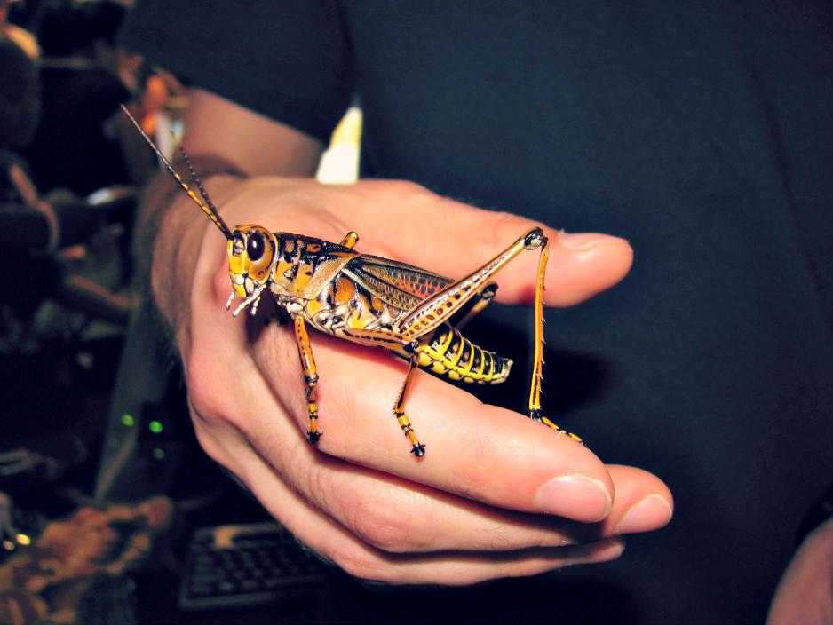 bugfest-2013-raleigh-nc-grasshopper