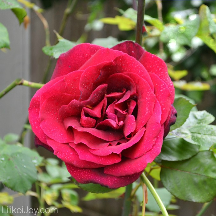 Summer Garden Tour: Mr. Lincoln Rose