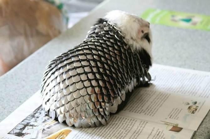 belakang badan guinea pig