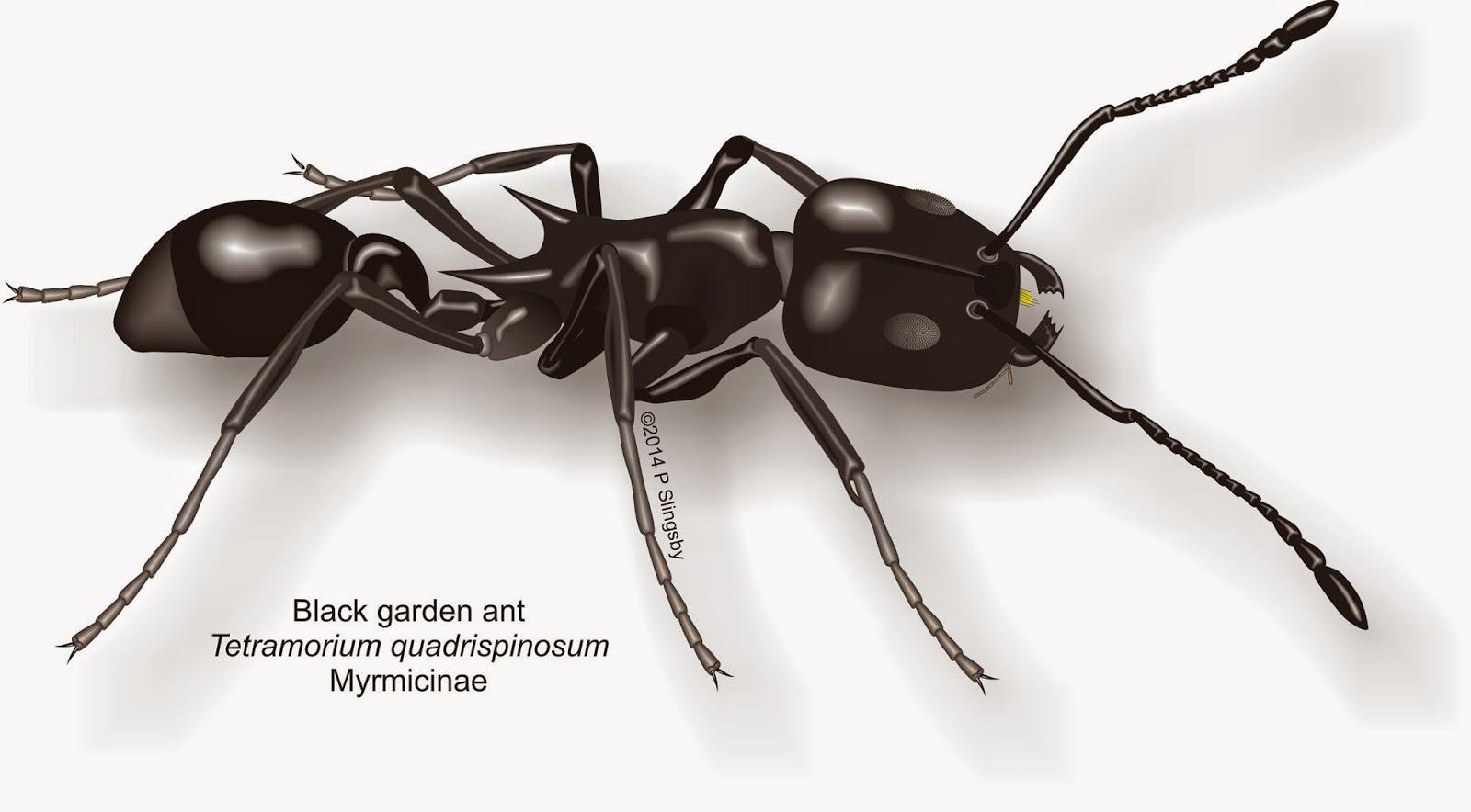 Ants of Southern Africa Tetramorium species Garden ants