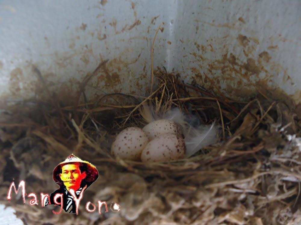Telur Burung layang – layang, poto by Blog Mang Yono
