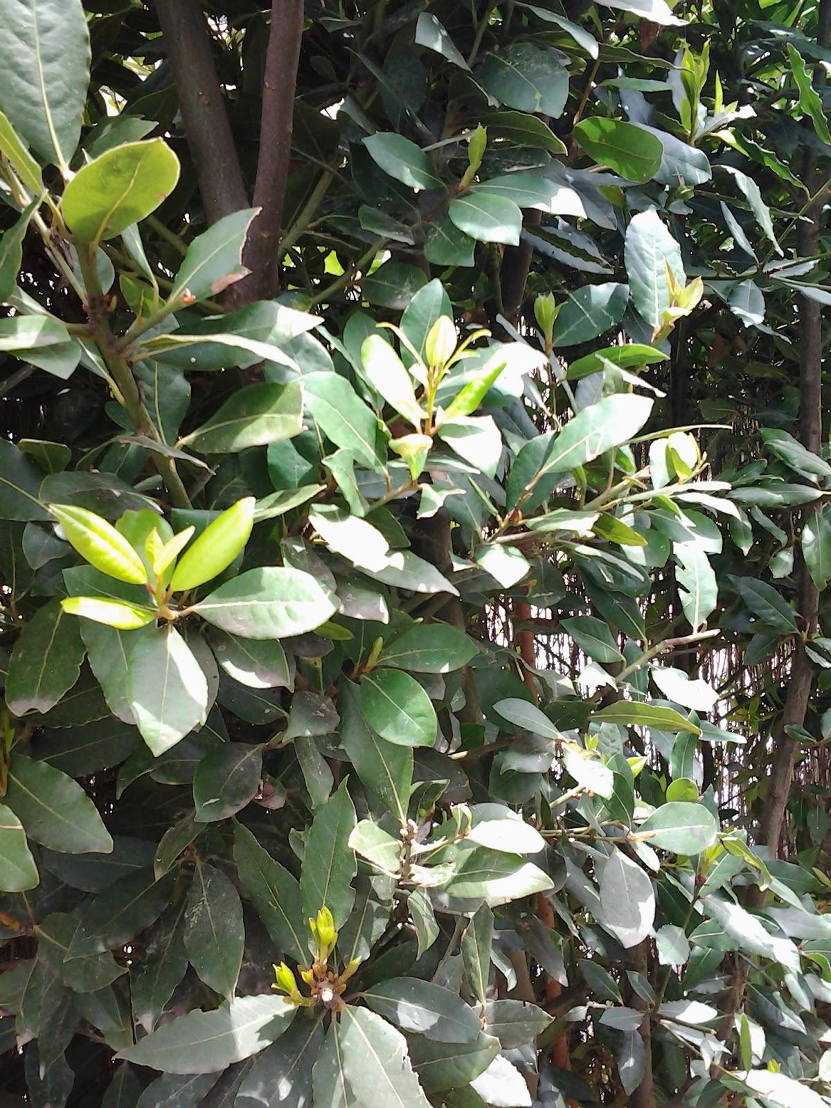 Multi eka plantas para seto alto - Plantas para setos altos ...