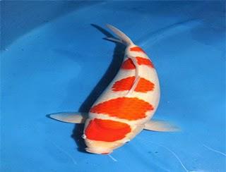 Koi fish kohaku koi fish for Kohaku koi fish