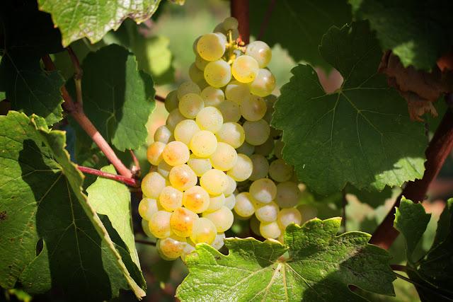 Raisin blanc bourgogne