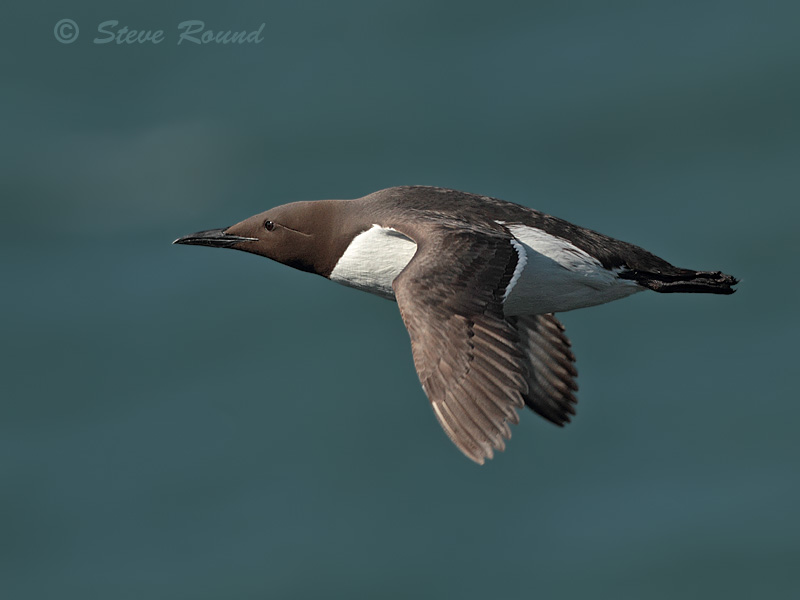 guillemot, seabird, bird, auk, nature, wildlife