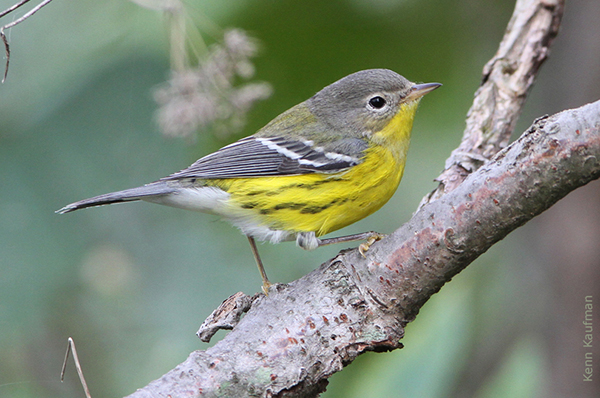 magnolia warbler fall - photo #4