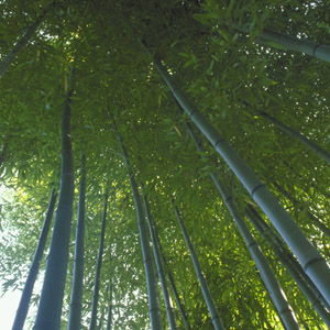 Bamboo Growing3