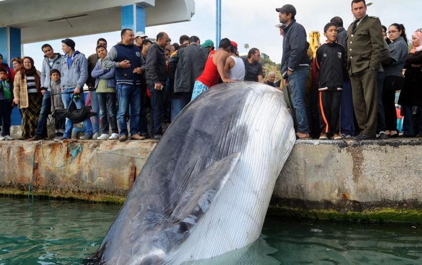 Une baleine pêchée au large de la Tunisie
