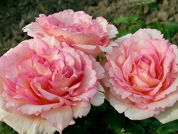 Souvenir de Baden Baden rose сорт розы фото