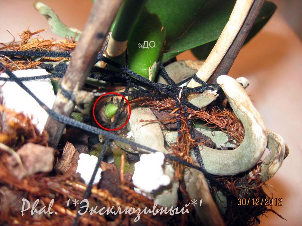 У фаленопсиса растет боковая детка