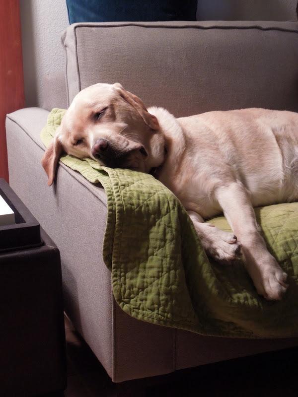 Sleeping Labrador Cooper
