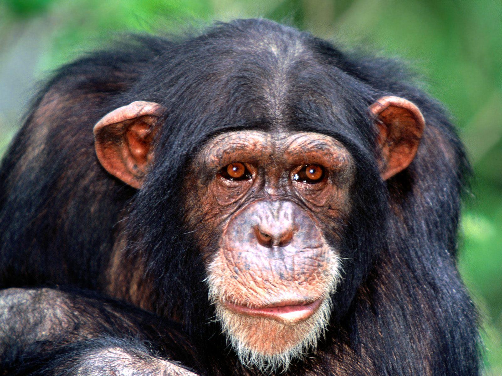 http://3.bp.blogspot.com/-Ye5kt90HjkY/T6k_Hlt7n4I/AAAAAAAAeC0/T_UdIbQmelA/s1600/All+Ears,+Chimpanzee.jpg