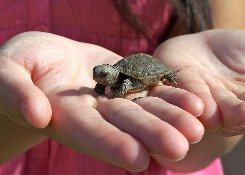 Baby Turtles and Humboldt Squid