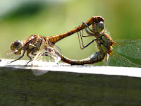 Dragon Fly Photos and Pictures 26