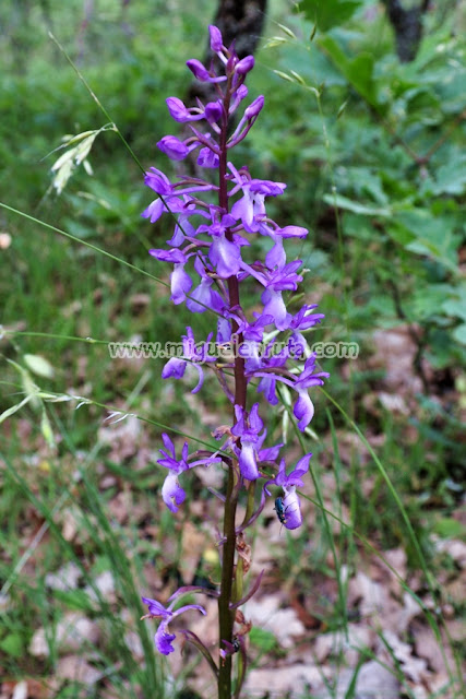 Orchis Minubetrensis