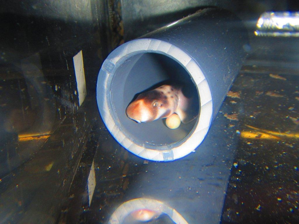 epaulette shark tank - photo #20