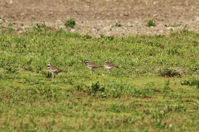 three killdeer in a field