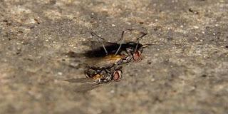 Kawin Menyebabkan Kematian Bagi Lalat