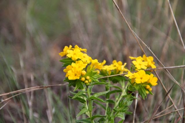 hoary puccoon, used for dye