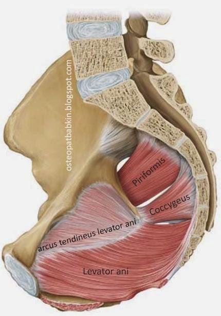 Крепление m. levator ani к тазу, сухожильная дуга мышца, поднимающей задний проход, arcus tendineus levator ani