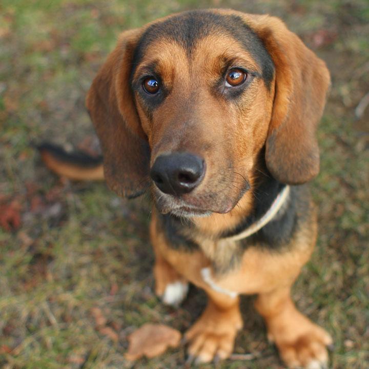 nixon basset hound mix