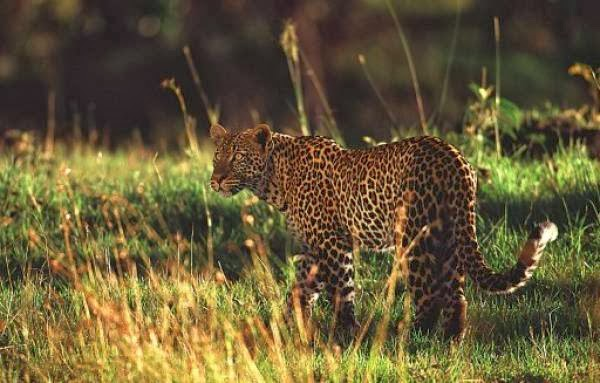 Leopard kills boy on trip to toilet