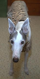 Blue the greyhound in his brindle jammies