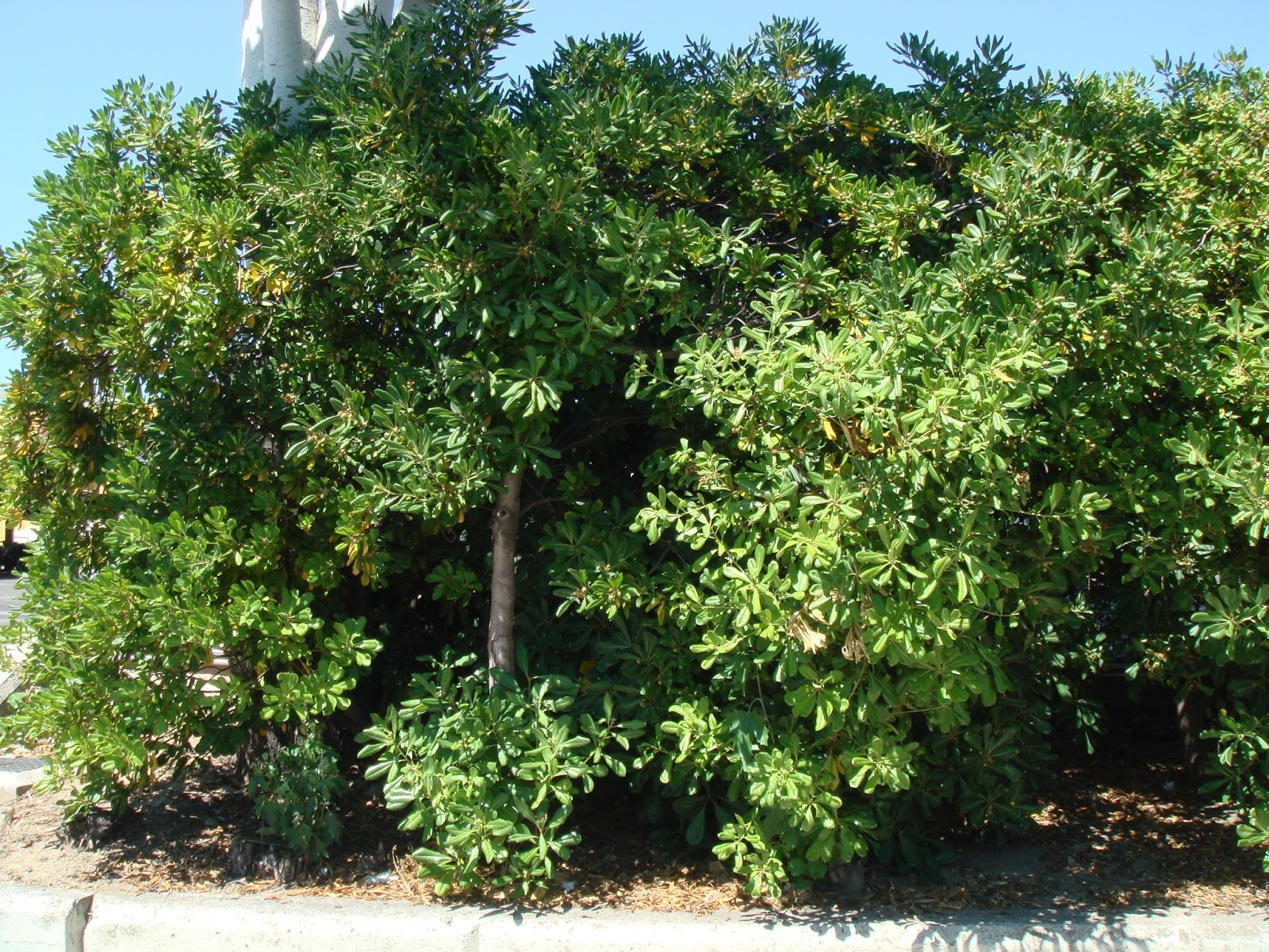 Flora urbana de getafe azahar de la china - Lista nombre arbustos ...