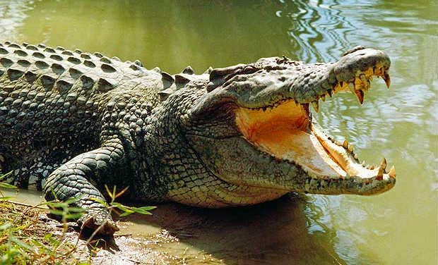 SEE MORE Crocodile