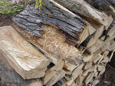 Michigan DNR to host 3 Emerald Ash Borer workshops