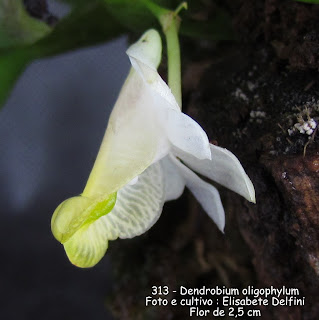 Dendrobrium oligophylum do blogdabeteorquideas