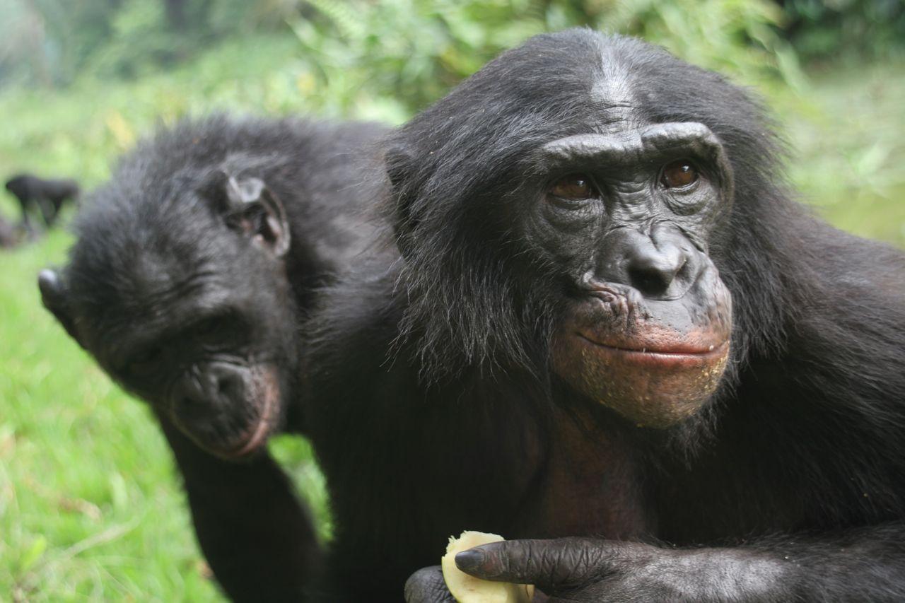 http://3.bp.blogspot.com/-YgQhpm133-E/TcqmIoQwiMI/AAAAAAAAOQs/lygTVaN0RjA/s1600/bonobos.jpg