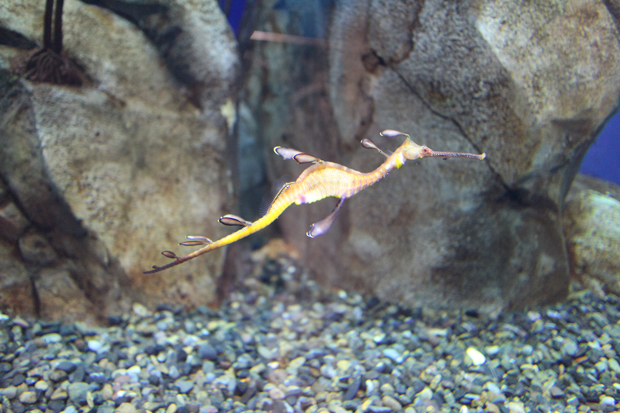 georgia aquarium seadragon sea dragon