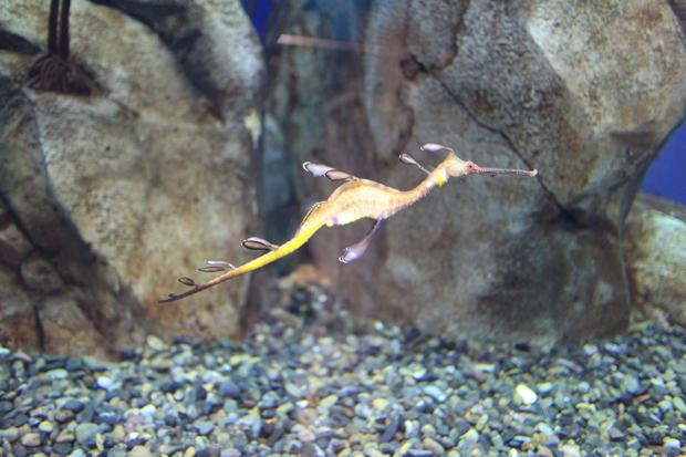georgia aquarium seadragon sea dragon