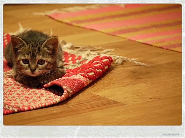 chat bébé baby cat