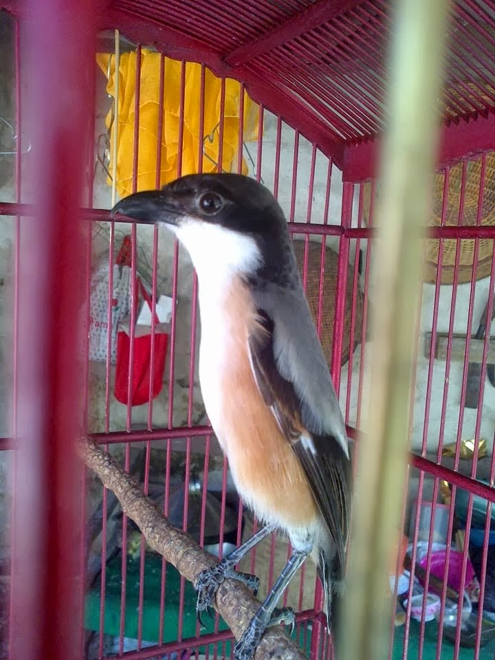 Gambar Cara Merawat Burung Falk