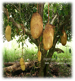 Nangka (Artocarpus heterophyllus)
