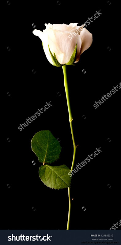 Single White Rose On A Black Background Stock Photo 124885312
