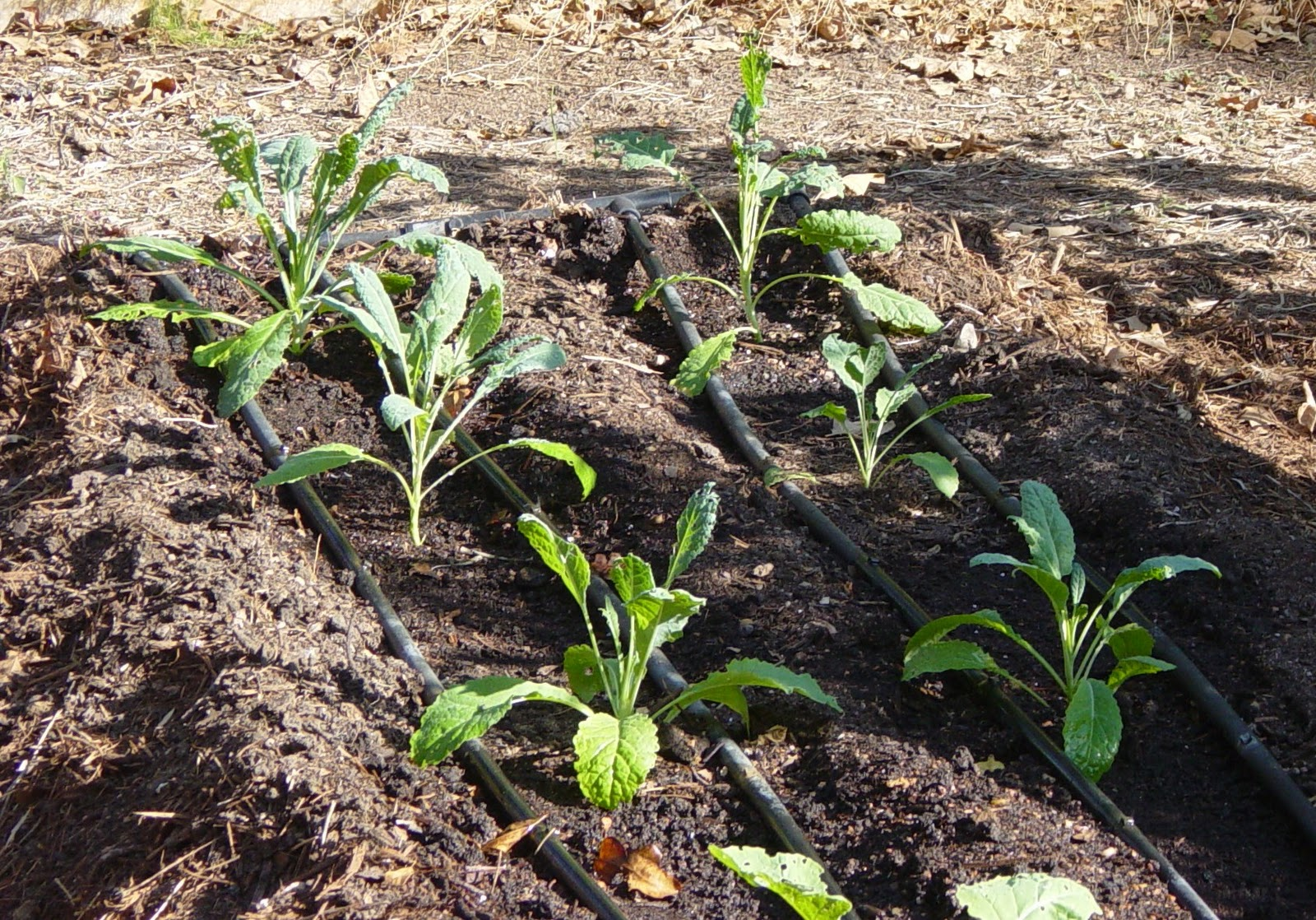 Garden Ally: Kale and Swiss Chard in the Garden