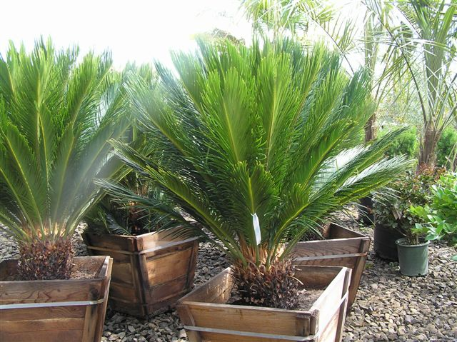 Sago Palm Is Beautiful When Growing In Pots.
