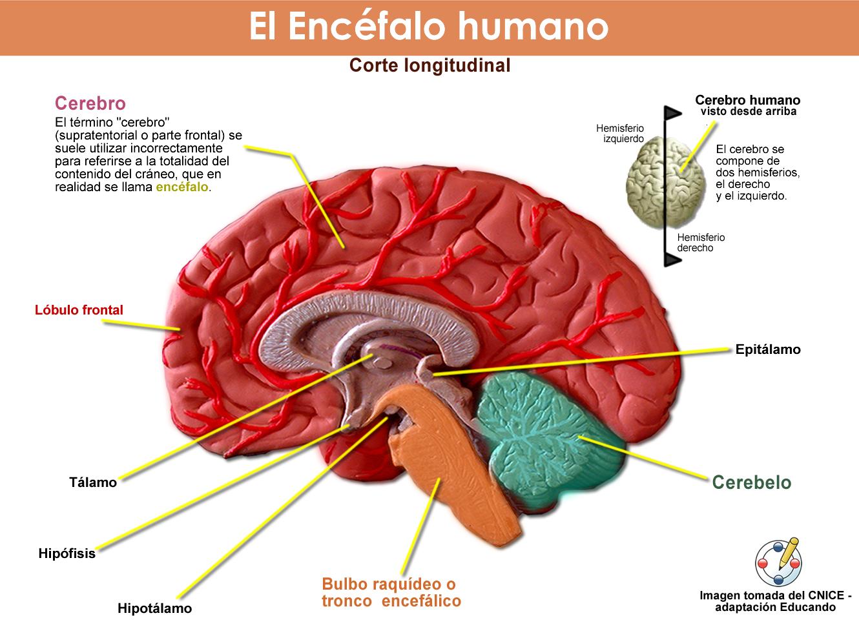 Sistema Nervioso: Sistema Nervioso Central - Sistema Nervioso Periférico