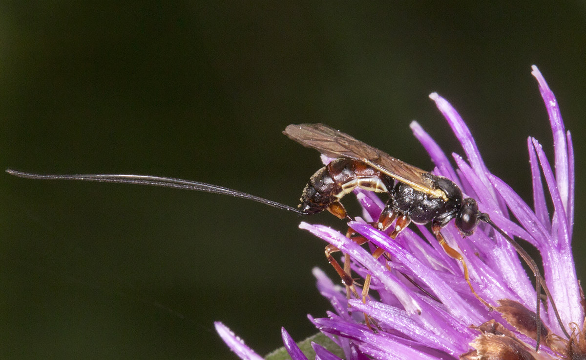 Ichneumon ovipositing on a Knapweed.  High Elms Country Park, Conservation Field, 11 August 2014.