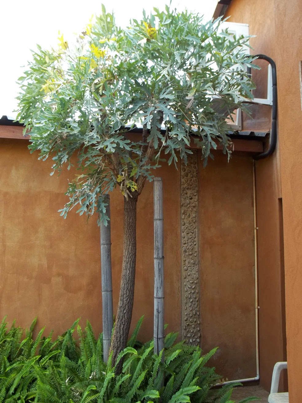 Unthinkable House Plant Tree. Growing the Highveld Cabbage Tree  Kiepersol from seed Gardening in Africa
