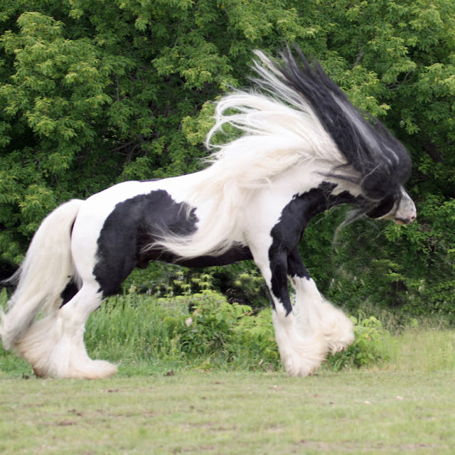gypsy  vanner horses britis         