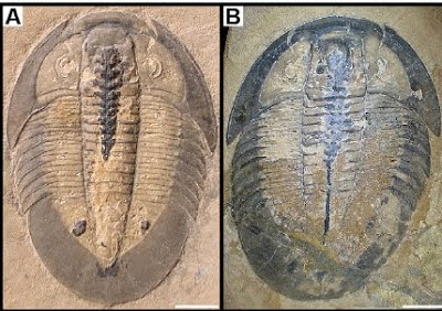 http://sciencythoughts.blogspot.co.uk/2012/03/preserved-trilobite-digestive-tracts.html