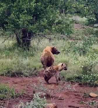 Striped-Hyena-With-Baby-Cub