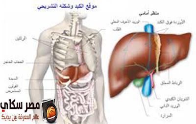 الكبد وموقعه وشكله التشريحى Liver