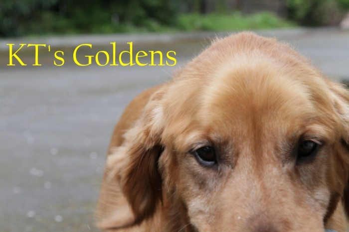 KT&#39;s Goldens