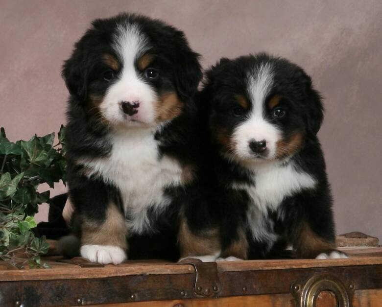 Bernese Mountain Dog Puppies Wi