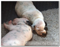 dos cachorros de cliveal dalmatas dormidos